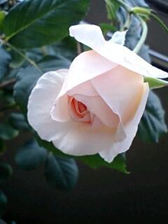 2007春のバラ